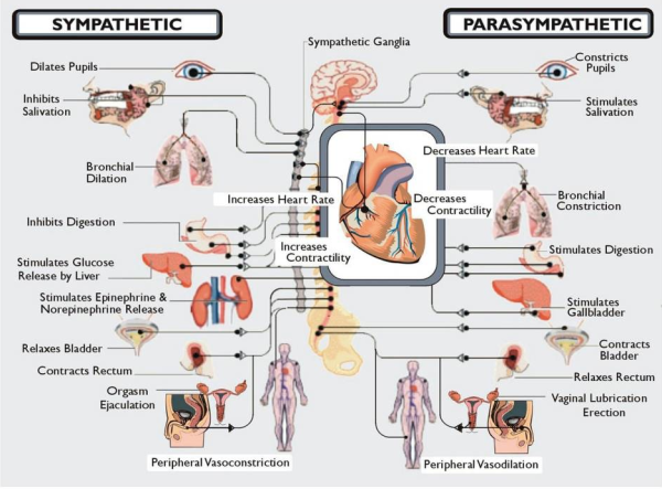 Dysautonomia autonomic nervous system graphic