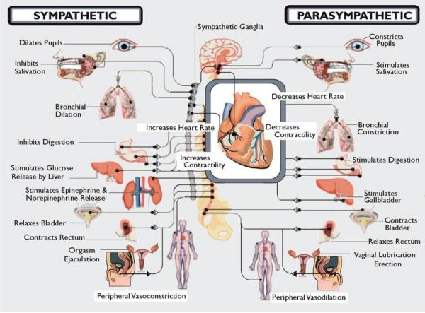 Dysautonomia autonomic nervous system graphic