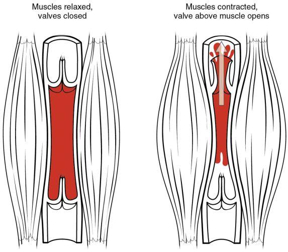 skeletal muscle pump